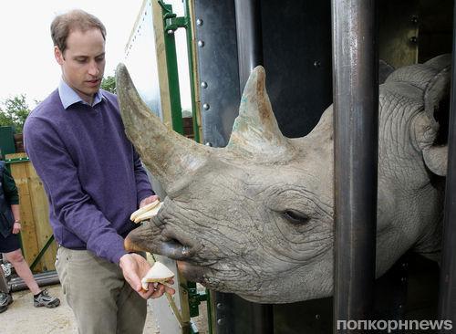 Принц Уильям по-королевски накормил носорога