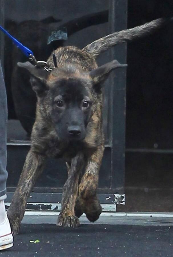 Роберт Паттинсон заявил, что он взял собаку из приюта вместе с Кристен Стюарт