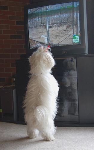 Собаки тоже любят сериалы