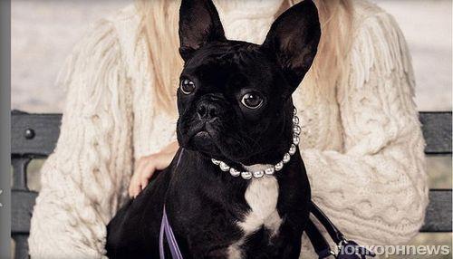 Собака Леди Гаги стала лицом новой рекламной кампании Coach