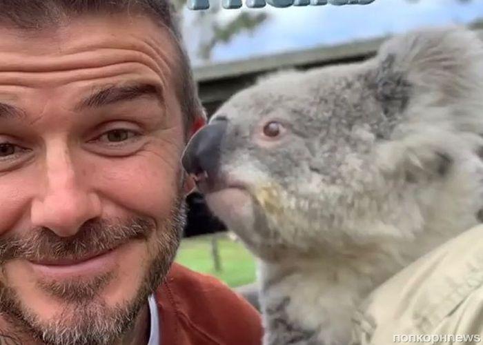 Осторожно, милота: Дэвид Бекхэм не устоял перед коалами и пандами